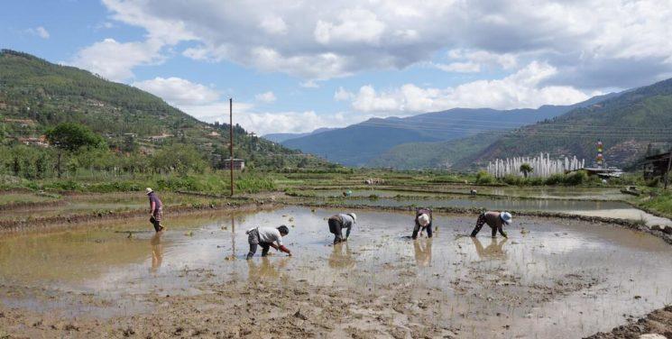 Rice planting in Bhutan