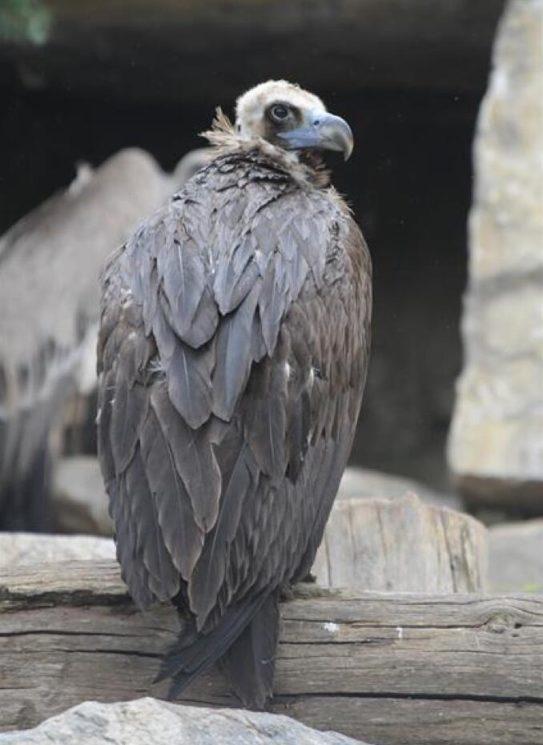 Aegypius monachus, monk vulture