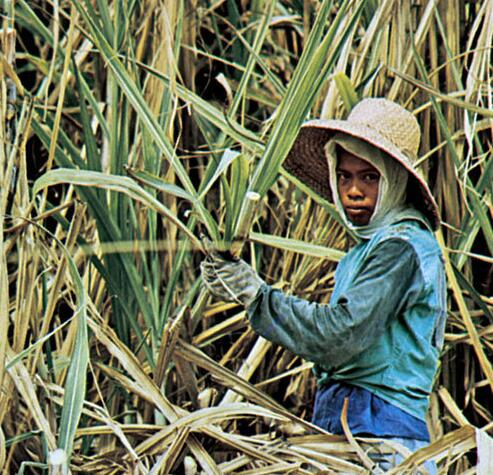 Philippines. The island of Negros is the center for growing sugar cane. Harvesting sugar cane.