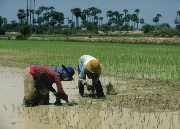 Rice cultivation is the main industry in Cambodia